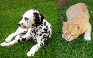 gazon-synthetique-chien-chat